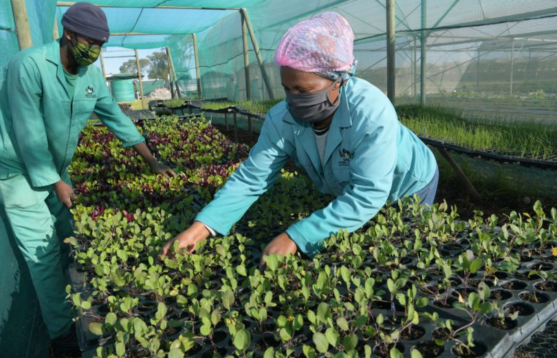Workers at the Philippi Fresh Produce Market sorting seedlings.