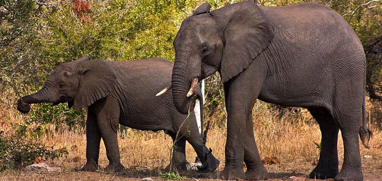 Kruger Park Elephants [Image Credit: Wikimedia-freestock.ca]